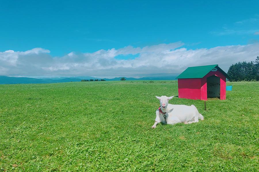 北海道の阿寒湖のヤギ